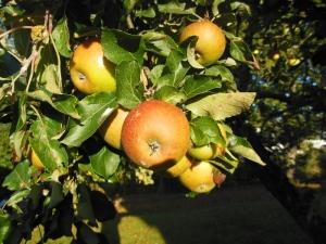 Epler på epletreet vårt