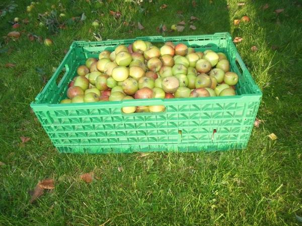 Noe av eplehøsten i år