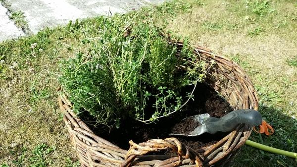Kurv - planting